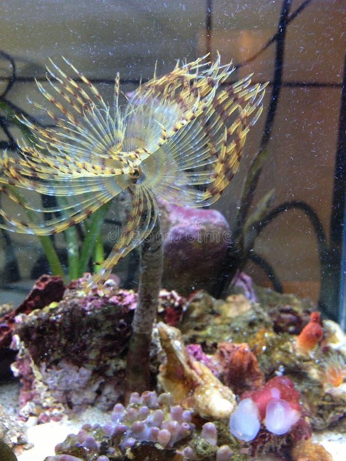 Salzwasserwurmblume stockbild