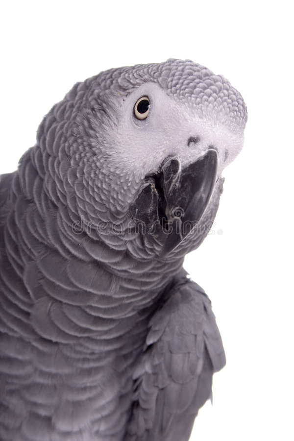 Sam. African Grey portrait against a white backdrop royalty free stock photography