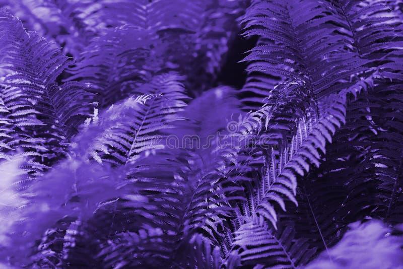 A samambaia bonita sae do fundo floral roxo da samambaia Cor criativa e temperamental ultravioleta da imagem imagens de stock royalty free