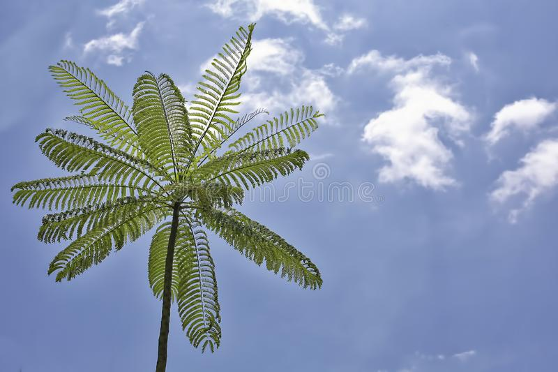 Samambaia de árvore fotos de stock royalty free