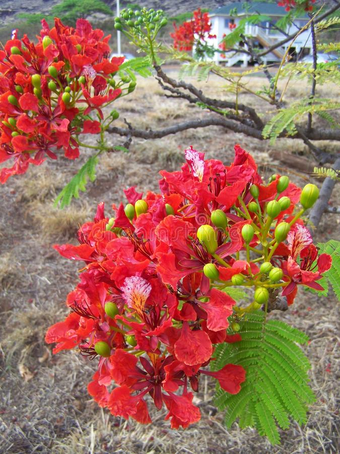 Samambaia de árvore de Hapuu Hawaiin, Kaui, Havaí foto de stock royalty free