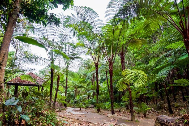 Samambaia de árvore grande na floresta tropical na cachoeira de Siriphum com passagem de pedra e no pavilhão no parque nacional d fotografia de stock