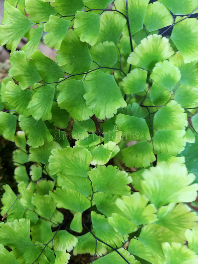 Samambaia de Maidenhair do delta imagem de stock