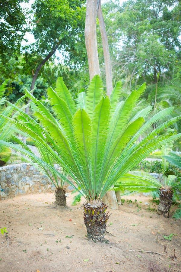 Samambaia de palmeira nova fotos de stock royalty free