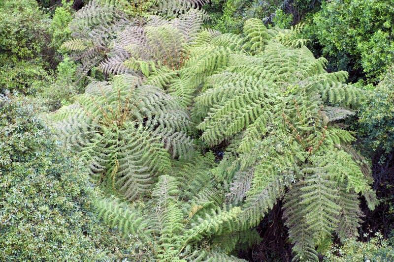 Samambaia de Ree na floresta úmida de Austrália imagem de stock