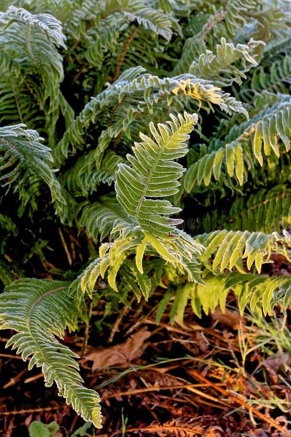 Samambaia em Forest Floor Delicate Details com manhã Frost imagem de stock royalty free