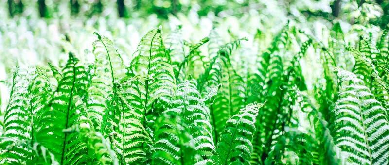 a samambaia está na floresta, muitas folhas, luz do sol imagens de stock