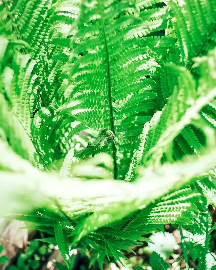 a samambaia está na floresta, muitas folhas, luz do sol foto de stock royalty free