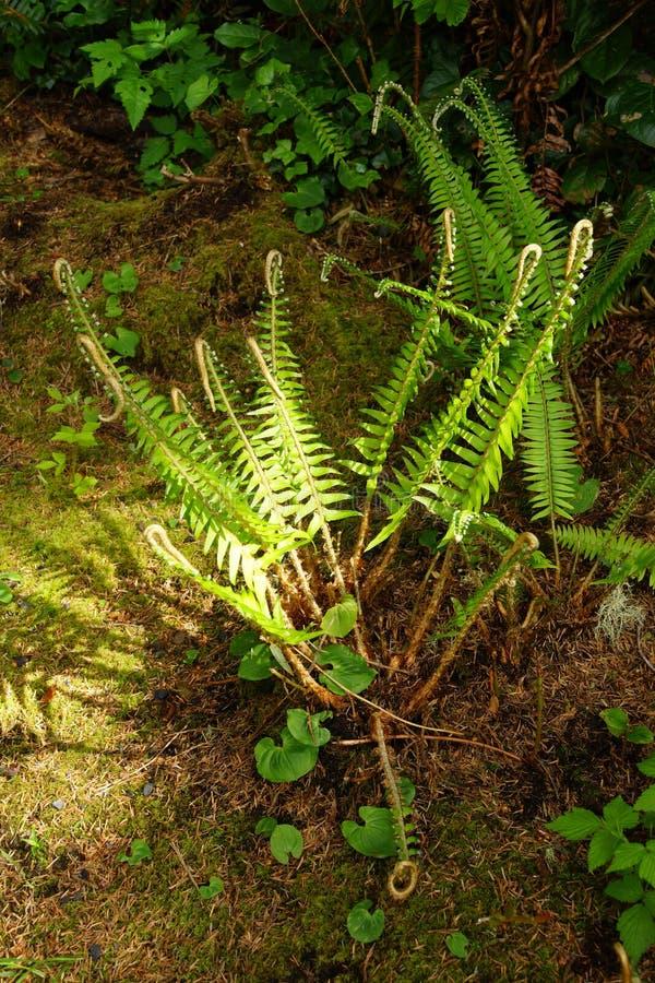 Samambaia no assoalho litoral da floresta foto de stock royalty free