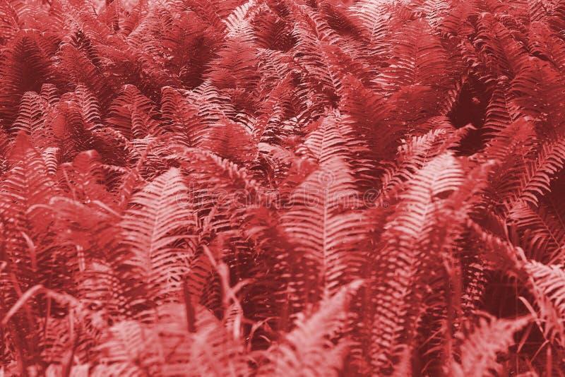 A samambaia sae da folha Fundo floral natural da samambaia Cor criativa e temperamental coral de vida da imagem foto de stock royalty free