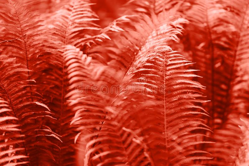 A samambaia sae da folha Fundo floral natural da samambaia Cor criativa e temperamental coral de vida da imagem fotografia de stock royalty free