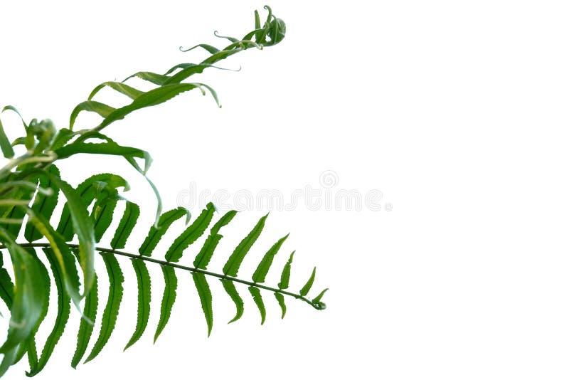 A samambaia sae no fundo isolado branco para o contexto verde da folha imagens de stock
