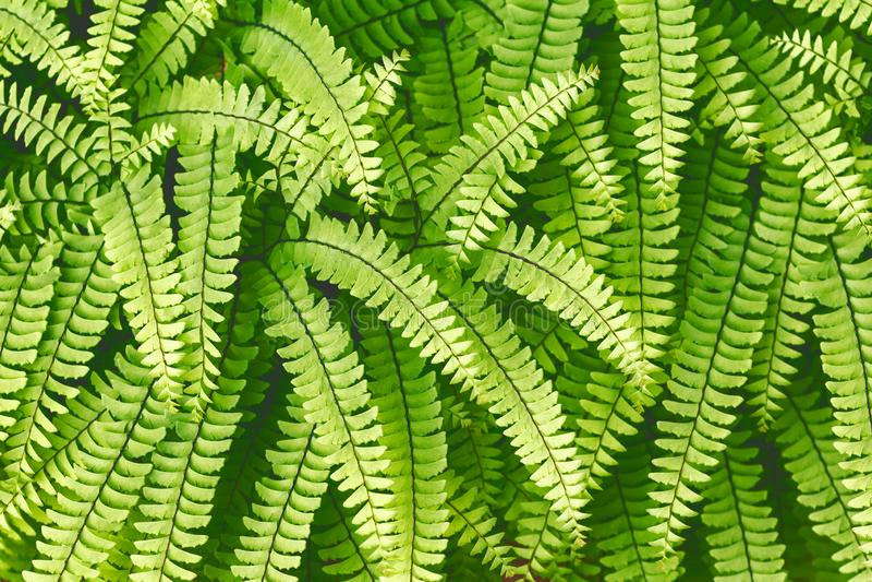 A samambaia sempre-verde deixa o close up na floresta escuro - fundo verde da folha para o projeto foto de stock royalty free