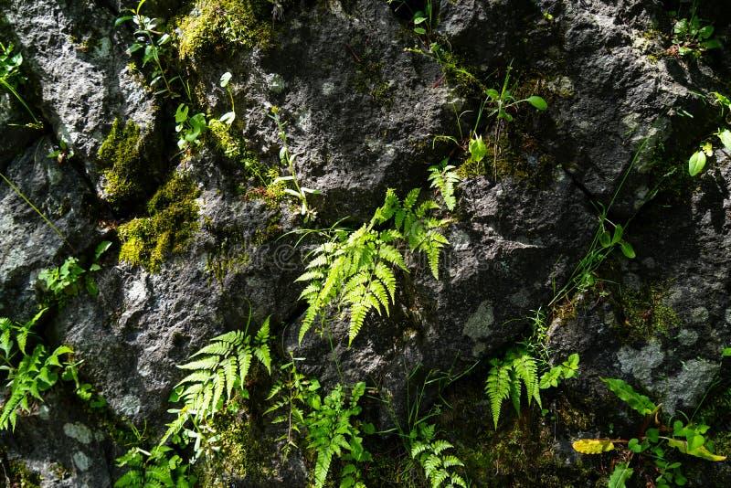 A samambaia verde luxúria fresca sae e o broto da erva daninha da grama do fundo de pedra áspero da parede da montanha, Kurokawa  imagem de stock royalty free