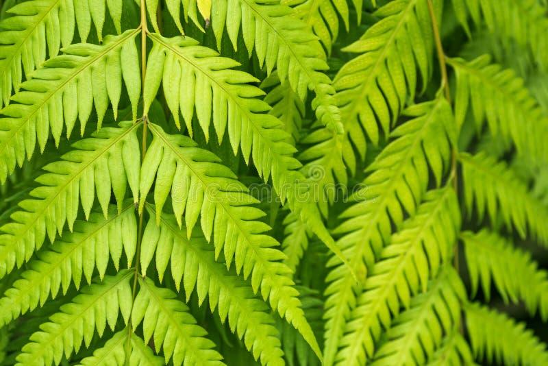 A samambaia verde sae do close up foto de stock royalty free