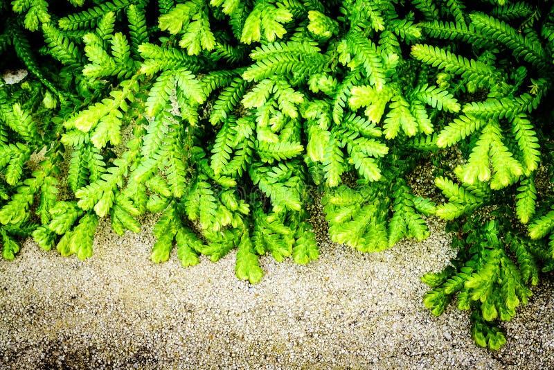 A samambaia verde sae do fundo foto de stock