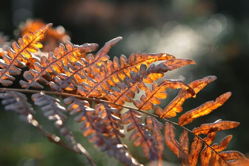 Samambaia vermelha do outono foto de stock