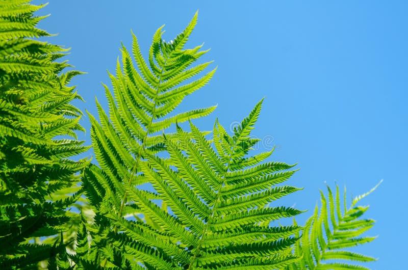 Samambaias bonitas do verde vívido no céu azul do espaço livre quente do verão fotografia de stock royalty free