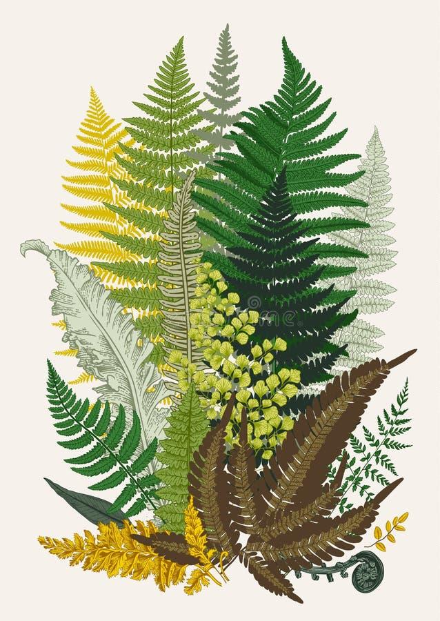 Samambaias do licenciado composição Ilustração botânica do vintage do vetor ilustração royalty free