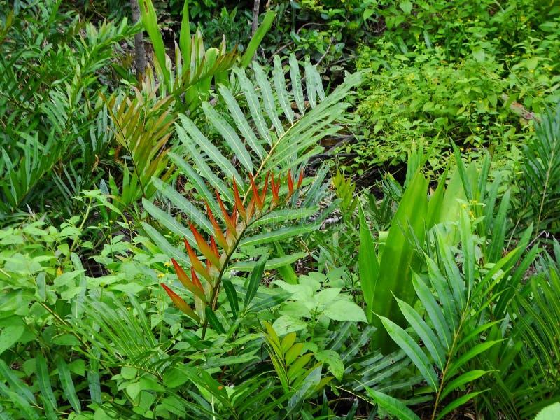 Samambaias e palmas na floresta úmida dos manguezais, Bornéu, Malásia foto de stock