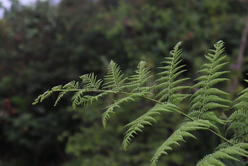 Samambaias que crescem selvagens em florestas tropicais no verão imagens de stock royalty free