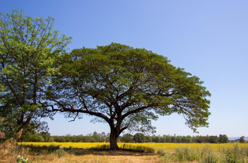 Saman grande de TreeSamanea da chuva com campos amarelos do cânhamo do junceasunn do Crotalaria na distância imagens de stock