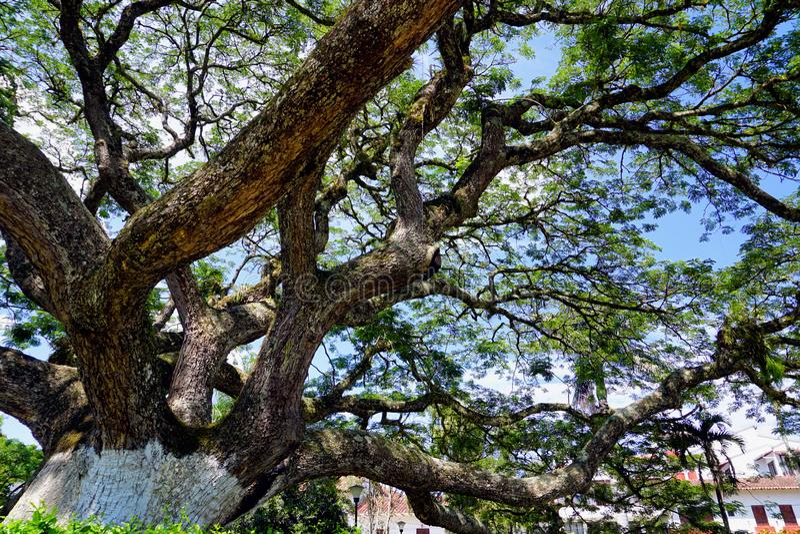 Saman Tree em Charala, Santander, Colômbia fotos de stock royalty free