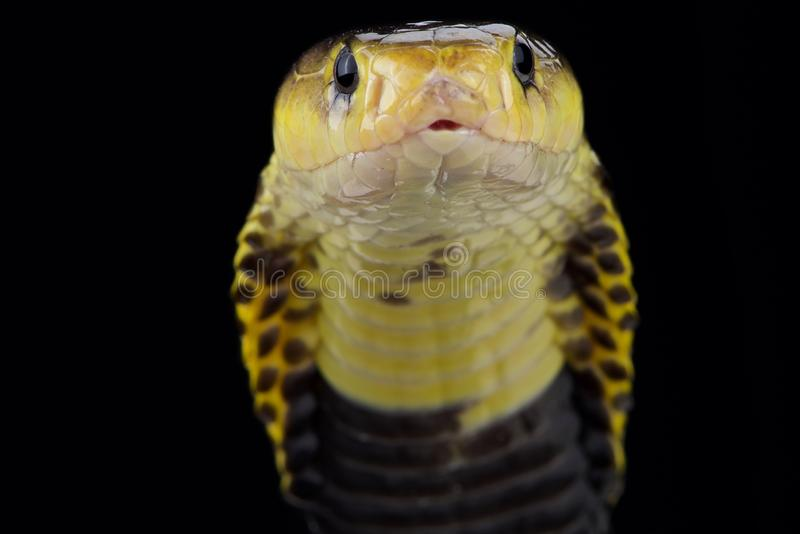 Samar spitting cobra Naja samarensis. The Samar spitting cobra Naja samarensis is a highly venomous snake species that is able to spit its venom several meters royalty free stock photography