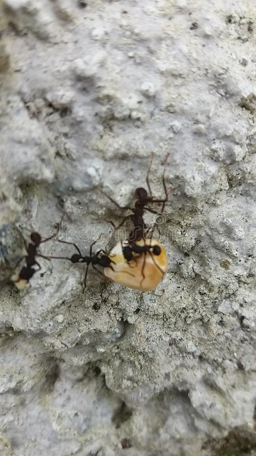 Samarbete av myror i en cementblick som tar ett korn av havre royaltyfria foton
