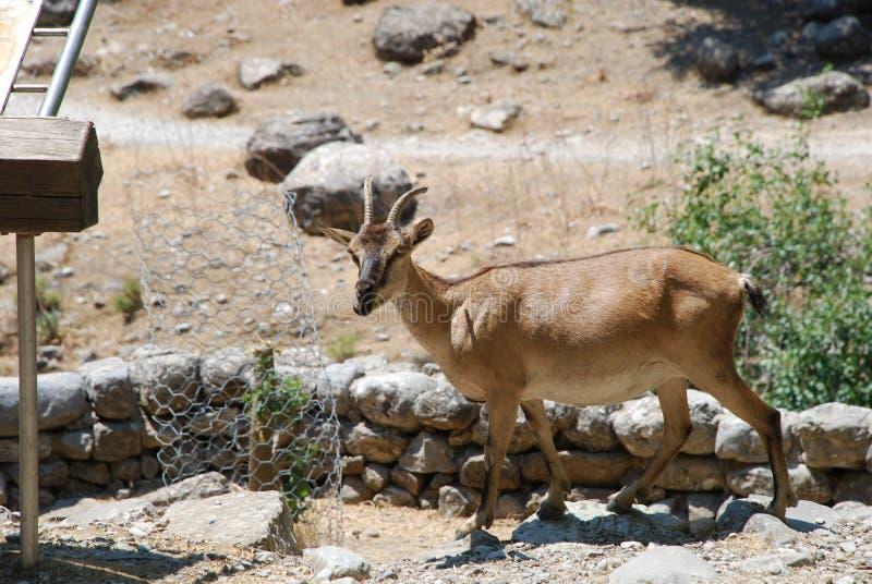 Samaria峡谷,克利特,石山羊 库存图片