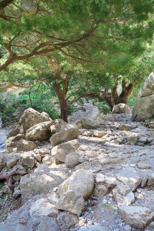 Samaria Gorge at Crete Greece hiking path. With old pine trees stock photo