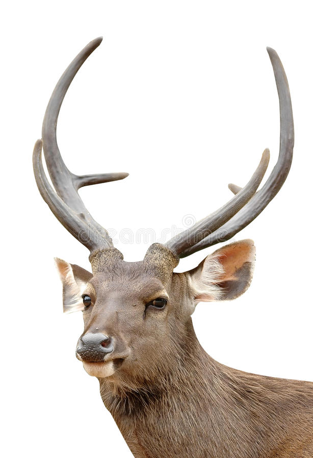 Free Sambar Deer Royalty Free Stock Image - 15913346