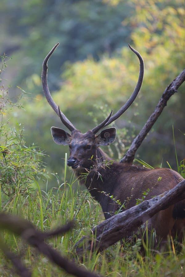 Sambar Deer stock image