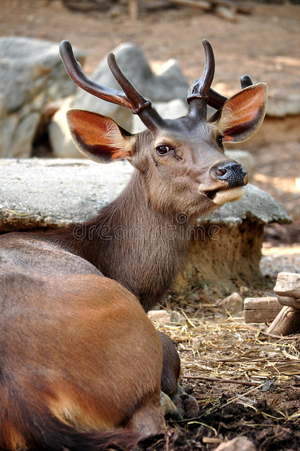 Download Sambar deer stock image. Image of mountain, antler, grazing - 25903379