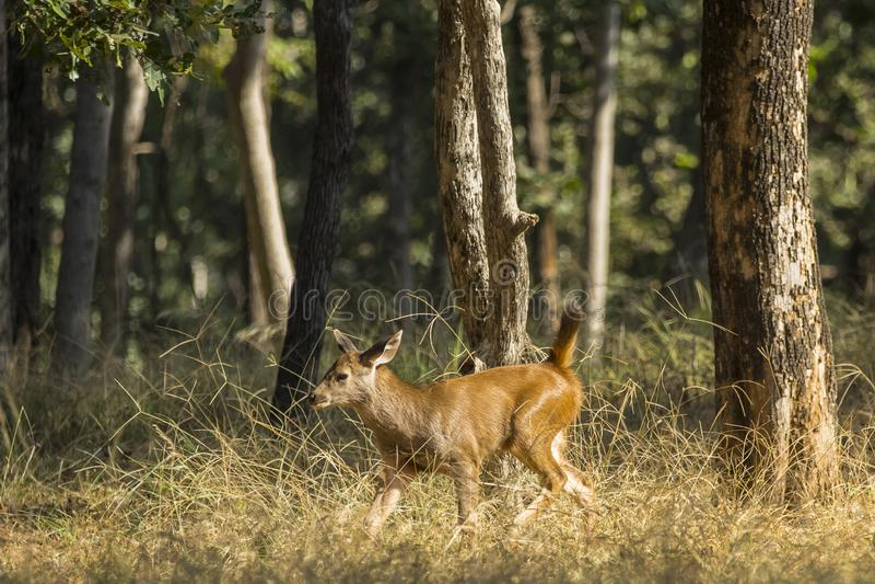 Sambar Deer Calf Walking through the Woods royalty free stock image