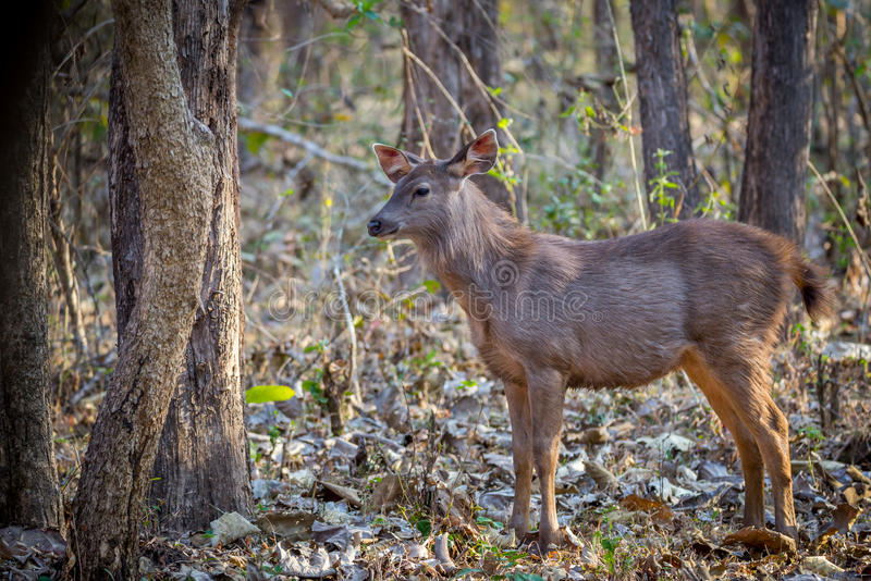 Sambar deer faun. Canon 6D 450mm ISO 800 1/400 f5.6 Sambar deer faun sighted in western ghats forest of India stock images