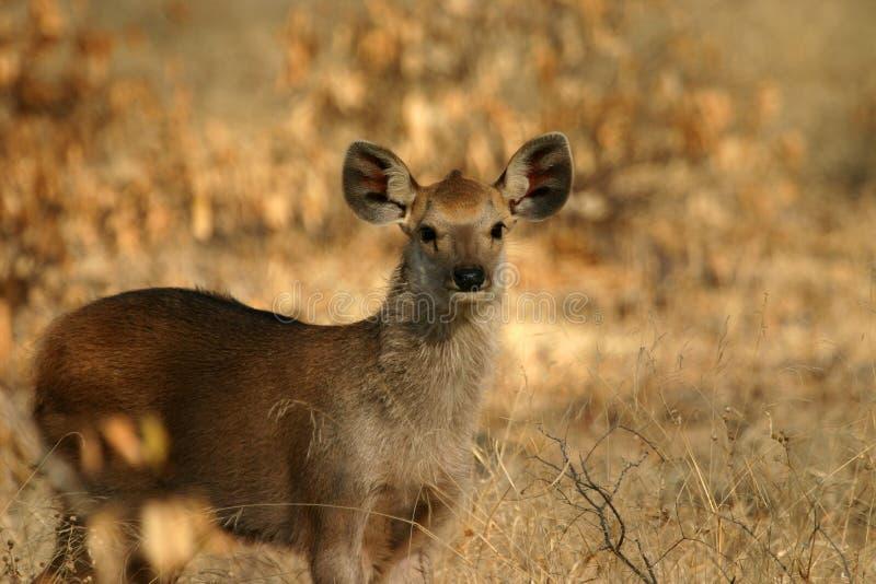 Sambar deer fawn royalty free stock photos