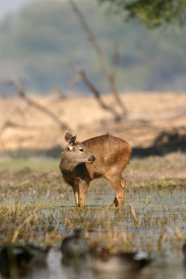 Free Sambar Deer Fawn In Water Royalty Free Stock Photography - 2190127