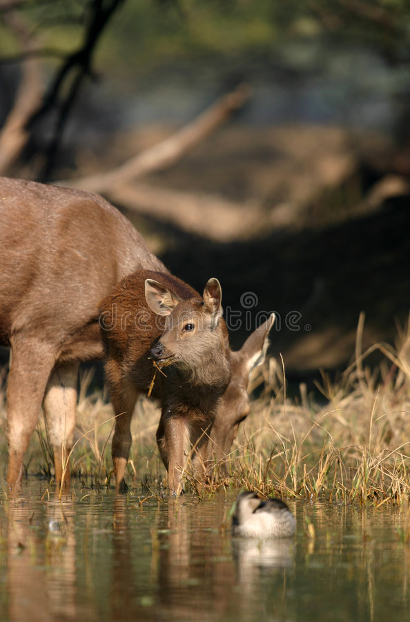 Sambar Deer Fawn In Water Stock Photo
