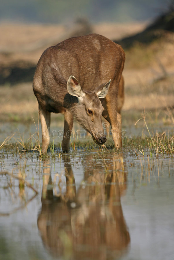 Free Sambar Deer In Water Stock Photo - 2190060