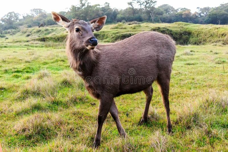 Sambar deer in wild. Sambar deer or Cervus unicolor is resting in high grass royalty free stock photography