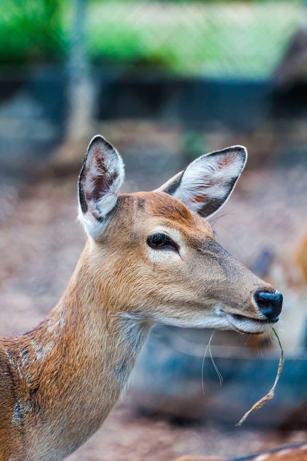 Download Sambar Deer stock image. Image of park, wild, animal - 34449723