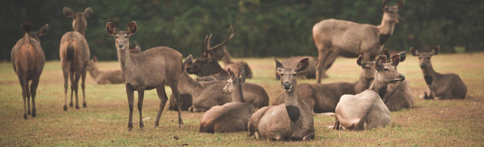 Sambar deers. Panorama royalty free stock photography