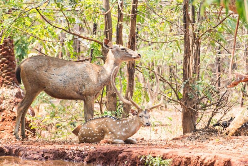 Sambar di una coppia di cervi allo zoo che riposa sotto l'albero vicino ad un serbatoio di acqua molto piccolo fotografie stock libere da diritti