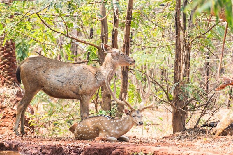 Sambar di una coppia di cervi allo zoo che riposa sotto l'albero vicino ad un serbatoio di acqua molto piccolo immagine stock libera da diritti