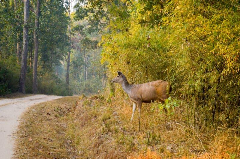 Sambar Deer or Rusa unicolor spotted at Kanha National Park stock photos