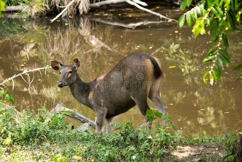 Sambar in Nationalpark Khao Yai stockfotos