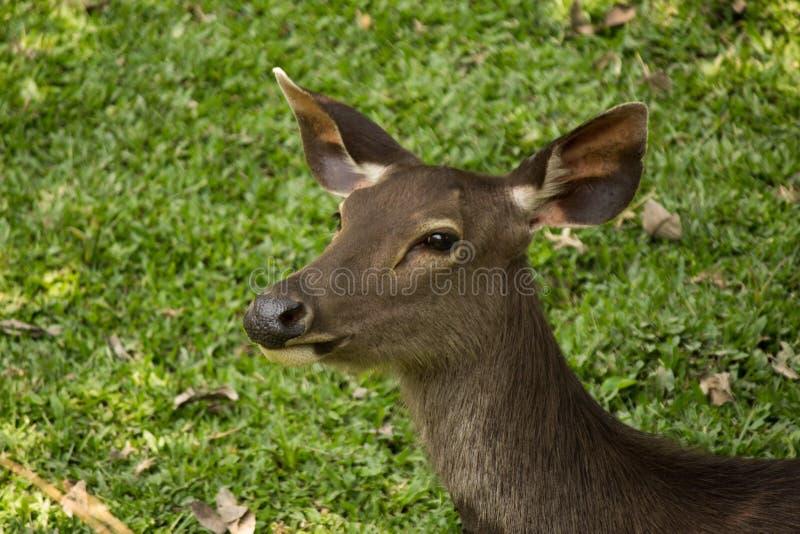 Sambar in Nationalpark Khao Yai lizenzfreies stockbild