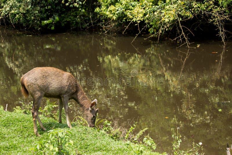 Sambar in Nationalpark Khao Yai stockfoto