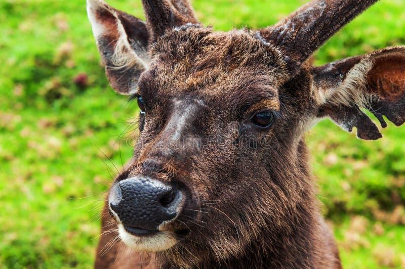 Sambar rogacz Horton równiien park narodowy Sri Lanka fotografia royalty free